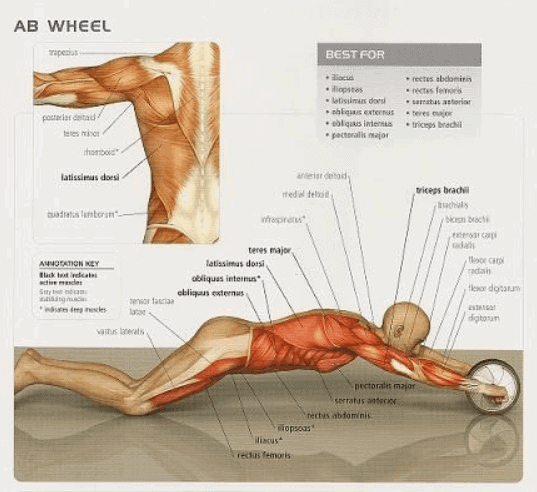 ab-wheel-muscles-worked